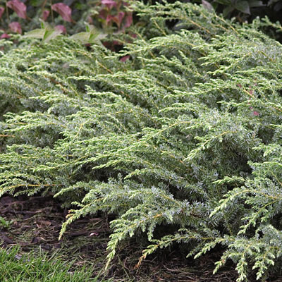 Juniperus com. var. d. 'Blueberry Delight'