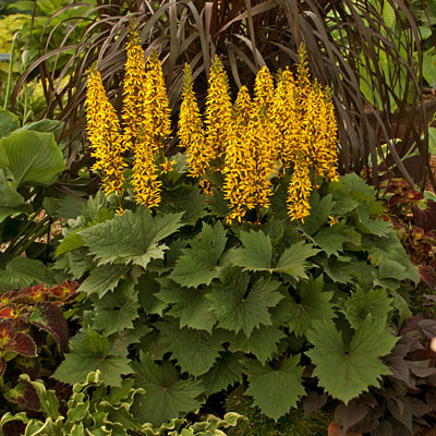 Ligularia x 'Bottle Rocket'