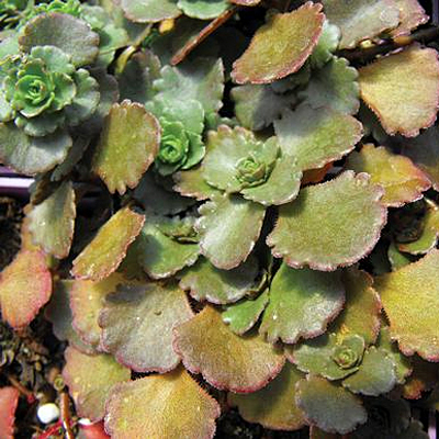 Sedum spur. 'Bronze Carpet'