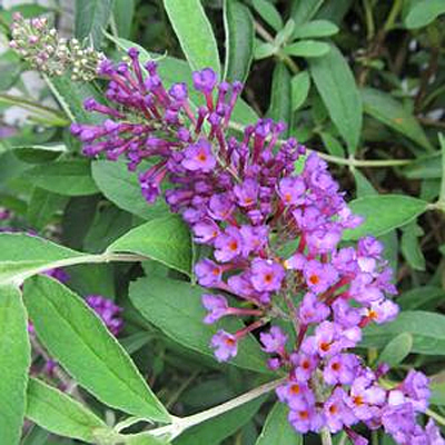 Buddleia d. 'Nanho Purple'
