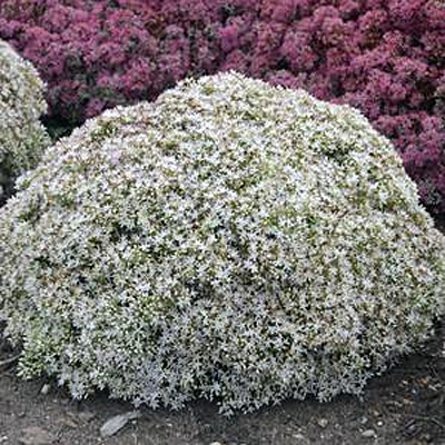 Sedum x 'Bundle of Joy'