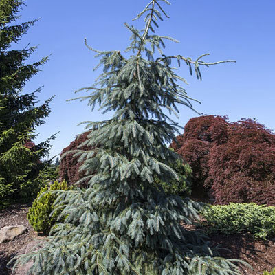 Picea e. 'Bush's Lace'