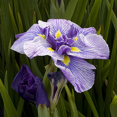 Iris e. 'Butterflies in Flight'