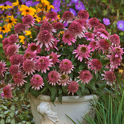 Echinacea p. 'Butterfly Kisses'