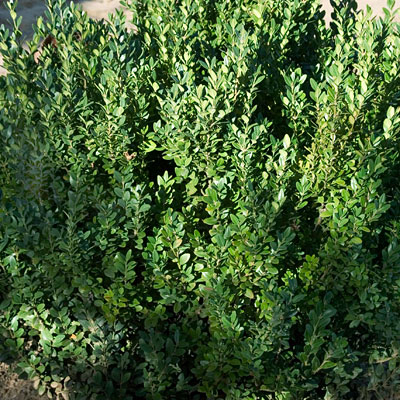 Buxus microphylla 'Green Mountain'