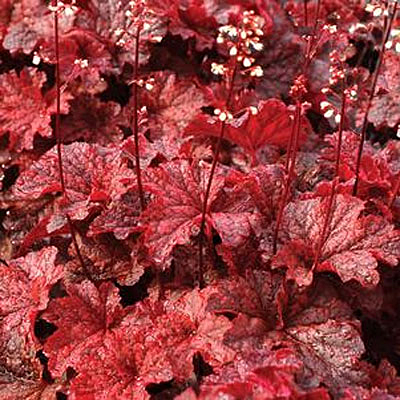 Heuchera x 'Cajun Fire'