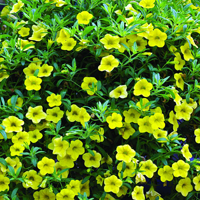 Calibrachoa 'Callie Yellow Improved'