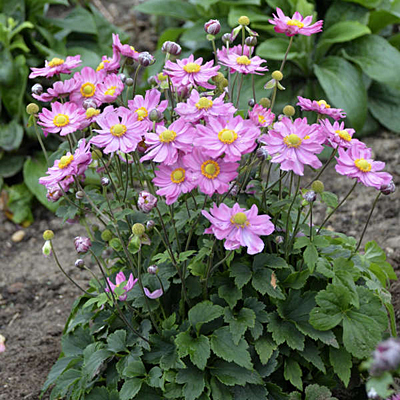 Anemone x 'Curtain Call Pink'