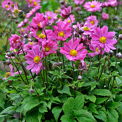 Anemone x 'Curtain Call Deep Rose'