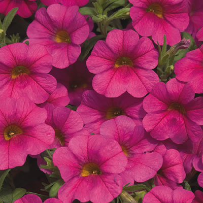 Calibrachoa 'Callie Rose'