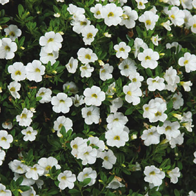 Calibrachoa 'Callie White'