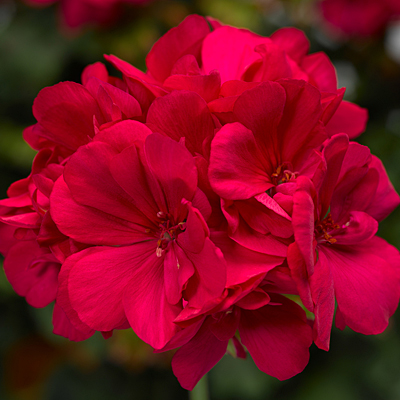 Geranium 'Calliope Large Hot Pink'