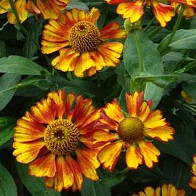 Helenium autumnale 'Can Can'