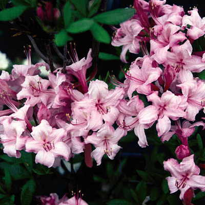 Azalea 'Candy Lights'