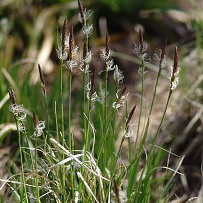 Carex pennsylvanica