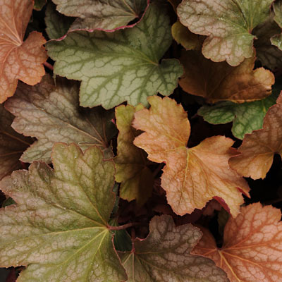Heuchera x 'Carnival Watermelon'