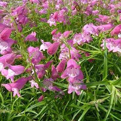 Penstemon x mexicali 'Carolyn's Hope'
