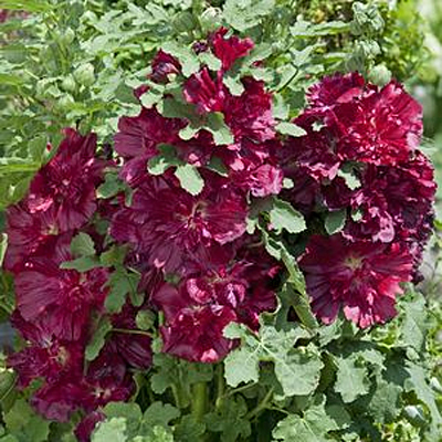 Alcea rosea 'Spring Celebrities Crimson'