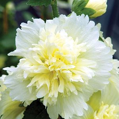 Alcea rosea 'Spring Celebrities Lemon'