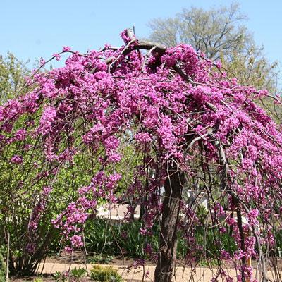 Cercis canadensis 'Covey' / 'Lavender Twist'