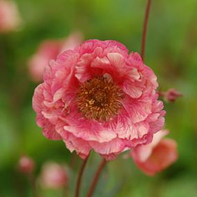 Geum x 'Cocktail Cherry Bomb'