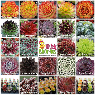 Sempervivum 'Chick Charms'