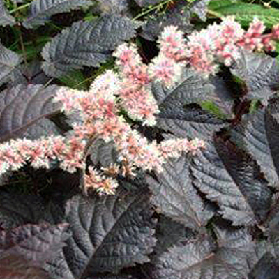 Astilbe a. 'Chocolate Shogun'