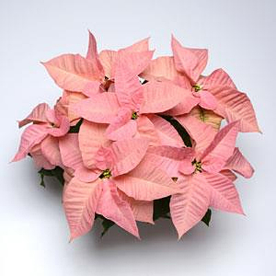 Poinsettia 'Christmas Ribbons'