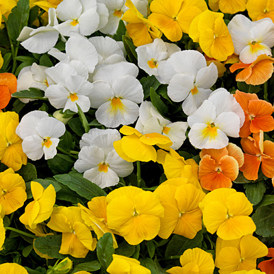 Viola 'ColorMax Citrus Mix'