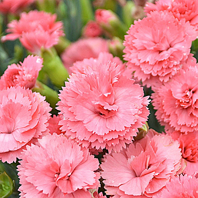 Dianthus x 'Fruit Punch Classic Coral'