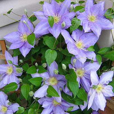 Clematis 'Cezanne'