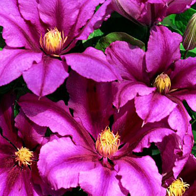 Clematis 'Liberation'