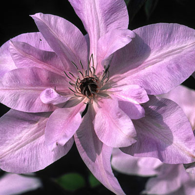 Clematis 'Reflections'