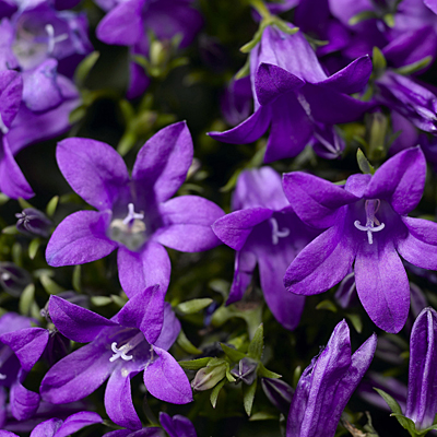 Campanula x 'Clockwise Deep Blue'