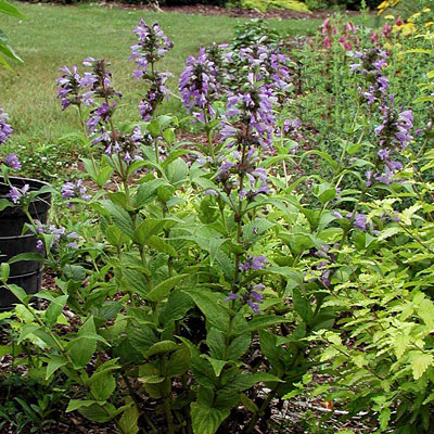 Nepeta subsessilis 'Cool Cat'