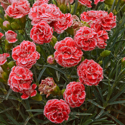 Dianthus x 'Scent First Coral Reef'