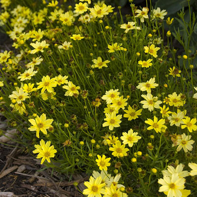 Coreopsis x 'Cr�me Brulee'