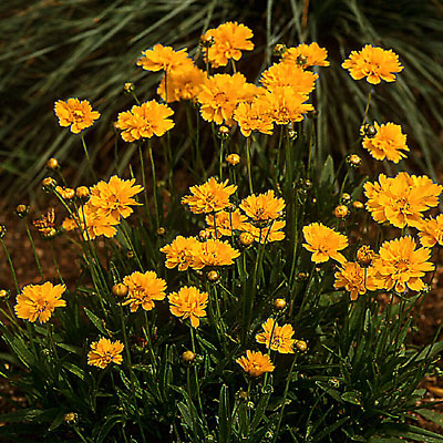 Coreopsis g. 'Early Sunrise'