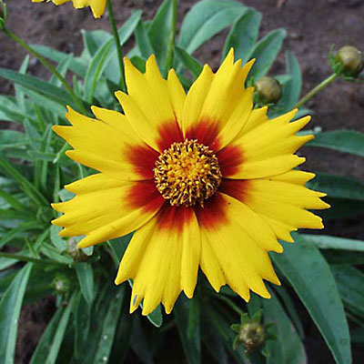 Coreopsis g. 'Sunfire'