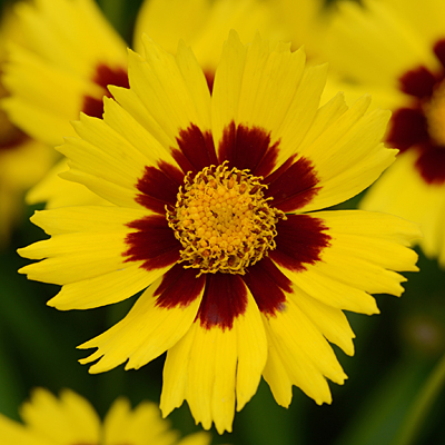 Coreopsis g. 'SunKiss'