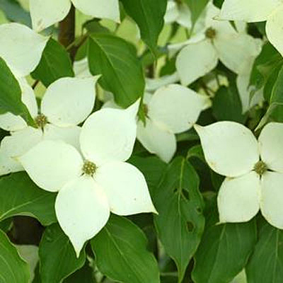 Cornus k. 'Milky Way'