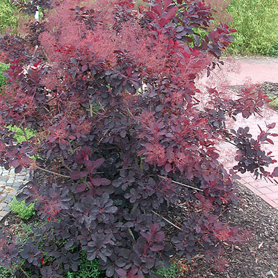 Cotinus c. 'Royal Purple'