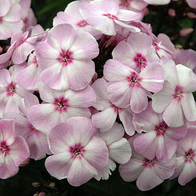 Phlox paniculata 'Cotton Candy'