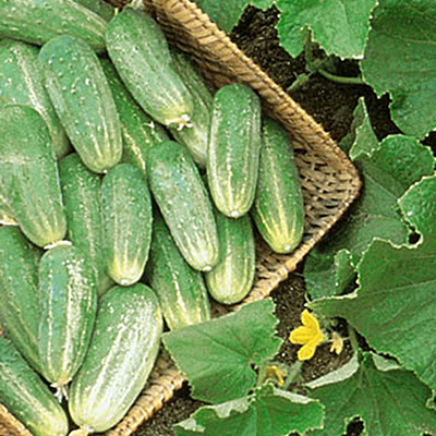 Seeds - Cucumber 'Picklebush'