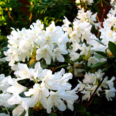 Rhododendron cat. 'Cunningham's White'