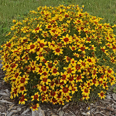 Coreopsis x 'Curry Up'