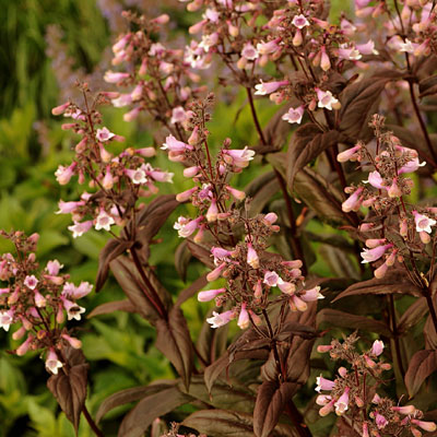 Penstemon d. 'Dark Towers'