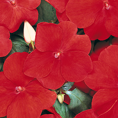 Impatiens 'Dazzler Red'