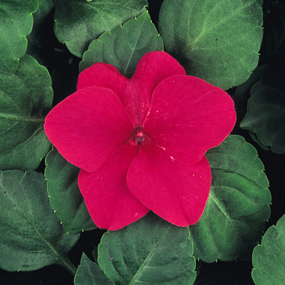Impatiens 'Dazzler Rose'