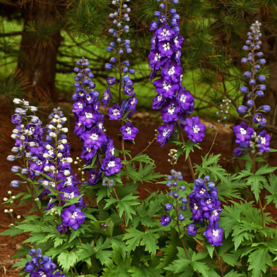 Delphinium e. 'Purple Passion'